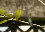 Kolibri bei Cienfuego/ Kuba