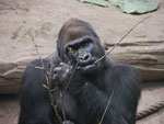 Gorilla im Zoo Leipzig