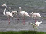 Flamingos bei Salalah, Sultanat Oman
