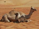 Kamelmutter und Kind in der Sandwüste des Oman