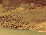 Seelöwen in Punta Loma, Puerto Madryn, Argentinien