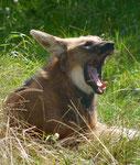 Mähnenwolf, Tierpark Berlin