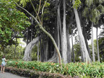 Bayanbaum im Jardin Botanico von Puerto de la Cruz, Teneriffa