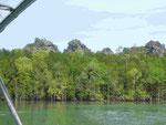 In den Salzwassermangroven von Langkawi, Malysia