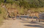Kudumutter mit Kalb im Kruger National Park, Südafrika