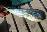 Atlantikfische gefangen auf Sal, Kapverden