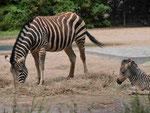 Zebra mit Fohlen im Tierpark Berlin