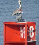 Pelikan am Eingang zum Panamakanal