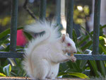 Albino-Eichhörnchen im Compagnie Park in Kapstadt, Südafrika