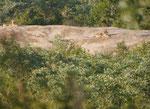 Löwen im Kruger National Park, Südafrika