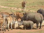 Elanantilopen und Nashörner  in einem privaten Tierpark in Südafrika