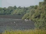Reiher im rumänischen Donaudelta