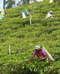Teepflückerinnen im Hochland von Kandy, Sri Lanka