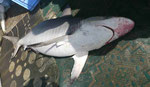 Hai auf dem Fischmarkt von Muskat, Oman