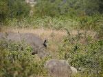 Nashorn im Kruger National Park, Südafrika