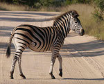 Zebra im Kruger National Park, Südafrika