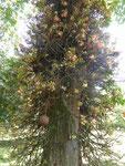 Ein Cannonballtree (Salabaum, Kronbaum), unter dem der Buddha geboren wurde