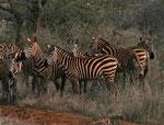 Zebras im Amboseli Nationalpark Kenia