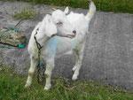 Junge Ziege auf Martinique