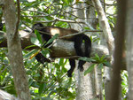 Brüllaffe, Guanacaste, Costa Rica