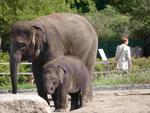 Indische Elefanten, Tierpark Berlin