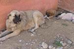 Hundemutter mit ihren Jungen in Griechenland