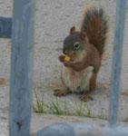 Eichhörnchen hinter dem Parlament von Ottawa, Kanada