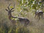 Impalabock im Kruger National Park, Südafrika