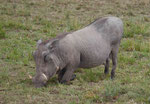 Warzenschwein in Kenias Nationalparks