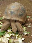 Riesenschildkröten auf Mauritius