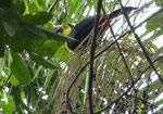 Tukan, Costa Rica