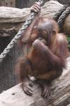 Junger Orang Utan im Zoo Leipzig