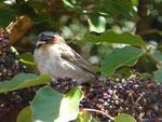 Singvogel, Costa Rica