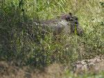 Warzenschwein im Kruger National Park, Südafrika