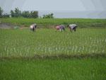 Ausbringen der Reispflanzen, Osttaiwan