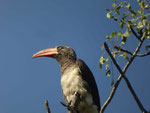 Rotschnabeltoko im Kruger National Park, Südafrika