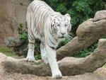 Weißer Tiger  im Loro Park, Teneriffa