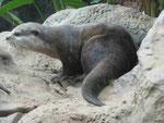 Otter  im Loro Park, Teneriffa