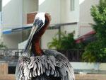 Brauner Pelikan auf Antigua
