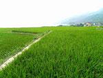 Reisfelder in Osttaiwan