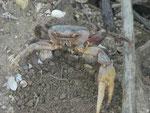 Große Krabbe im Mangrovenwald, Curieuse, Seychellen
