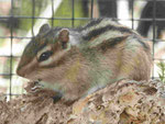 Hörnchen im Minizoo auf Porto Santo, Portugal