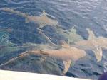 Ammenhaie bei einer Haifütterung auf den Malediven