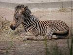 Zebrafohlen, Tierpark Berlin