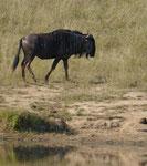 Streifengnu im Kruger National Park, Südafrika