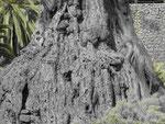 Der Riesendrachenbaum von Icod de los Vinos, Teneriffa, Kanarische Inseln, Spanien