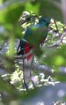 Quetzalmännchen, Costa Rica