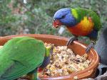 Papageien im Loro Park, Teneriffa