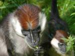 Affen, Tierpark Berlin