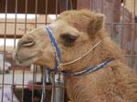 Auf dem Kamelmarkt in Al Ain, Vereinigte Arabische Emirate